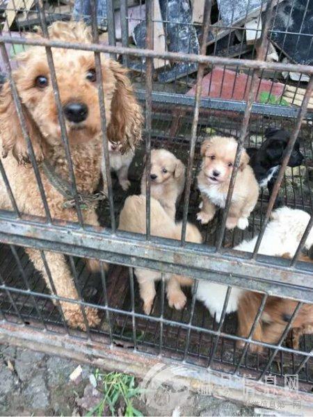 免费送四只泰迪,土狗串,狗妈妈是泰迪