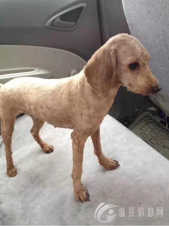 寻狗启示:泰迪犬,短毛,脖上挂有红绳