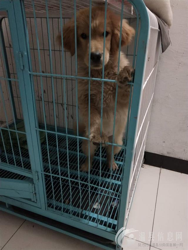 本人出售金毛狗一条!现在8/9个月狗有50-60斤1000元