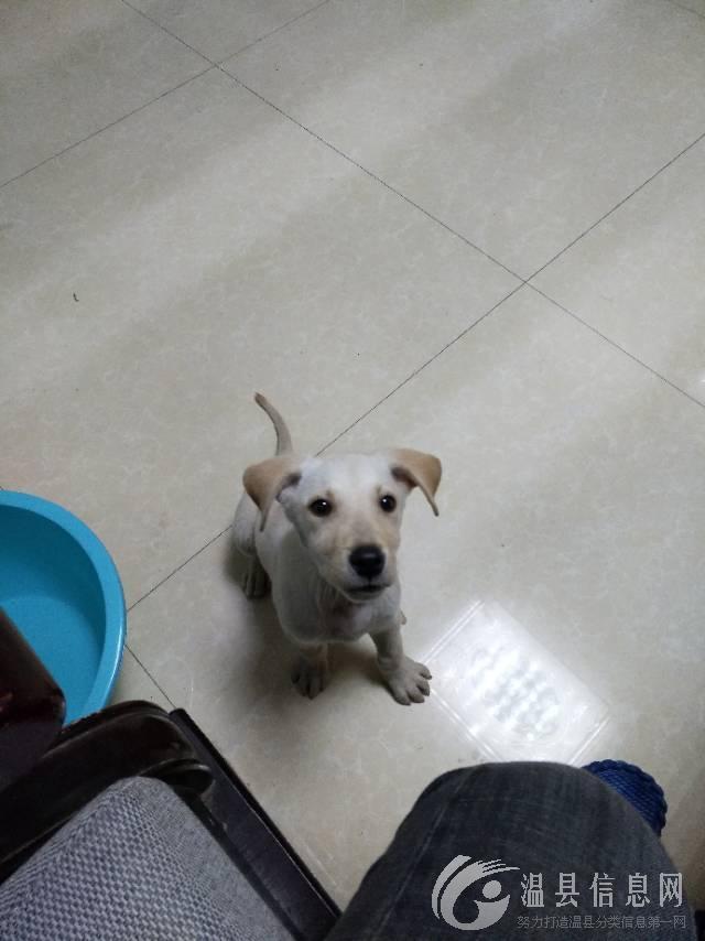 寻找狗狗,拉巴拉多犬,两三个月大,与昨天下午五六点时走丢,脖