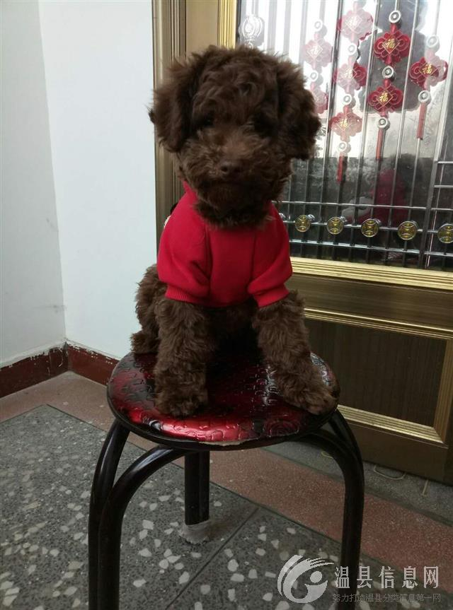 出售贵宾犬巧克力色,公2岁,找个爱狗人士。价格合理