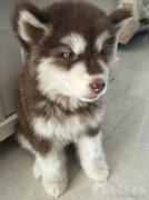 两个月大的阿拉斯加犬一只,红毛,母的。 家里刚生小孩,不让继