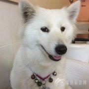 5月19日下午2点左右在上作桥附近丢失1只萨摩耶犬,母狗名叫