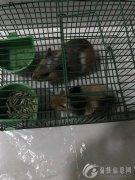 家有荷兰猪2只,又名豚鼠,活泼、健康、可爱,由于孩子还小,家