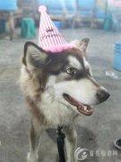 7月1号下午两点到六点 在鑫源路丢失一条红棕色的阿拉斯加 狗