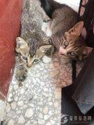 家有三四只狸花猫宝宝,温顺可人,已满月数日,请好心人收留